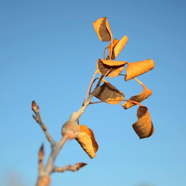 Dead Aspen Leaves - Free high resolution photo