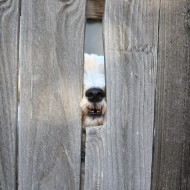 dog with nose in hole of fence - free high resolution photo