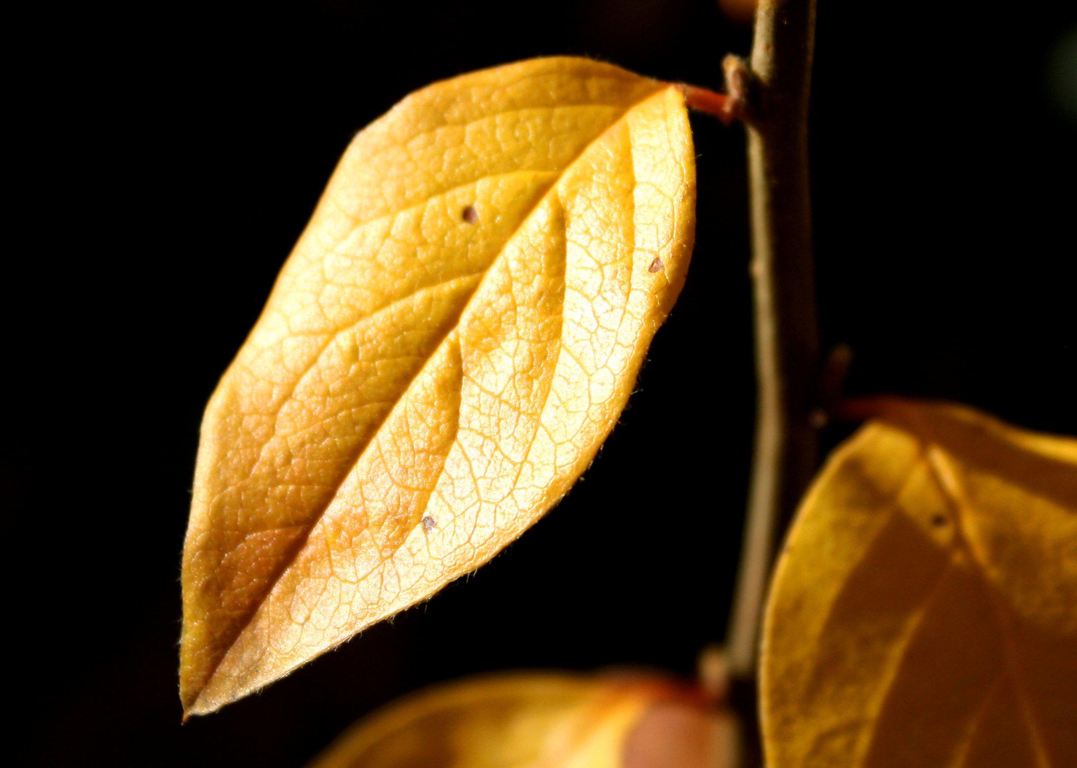 golden leaf picture