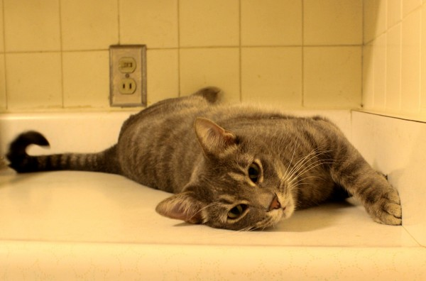 Gray tabby cat on kitchen counter - free high resolution photo