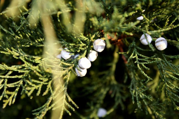 Juniper Branch with Berries - Free high resolution photo