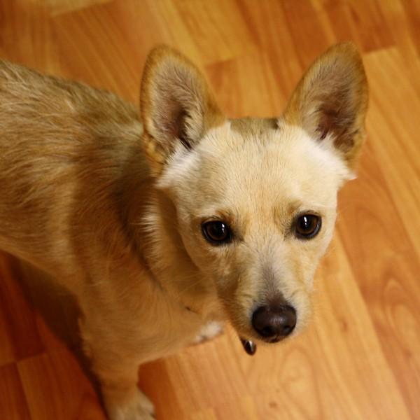 Light Brown Dog - Free high resolution photo