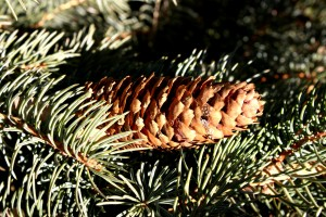 Pine Cone on Tree - free high resolution photo