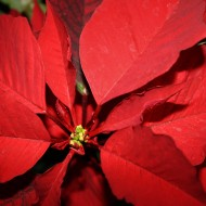 Poinsettia Flower Closeup - free high resolution photo