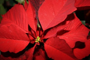 Poinsettia Flower Closeup - free high resolution photo