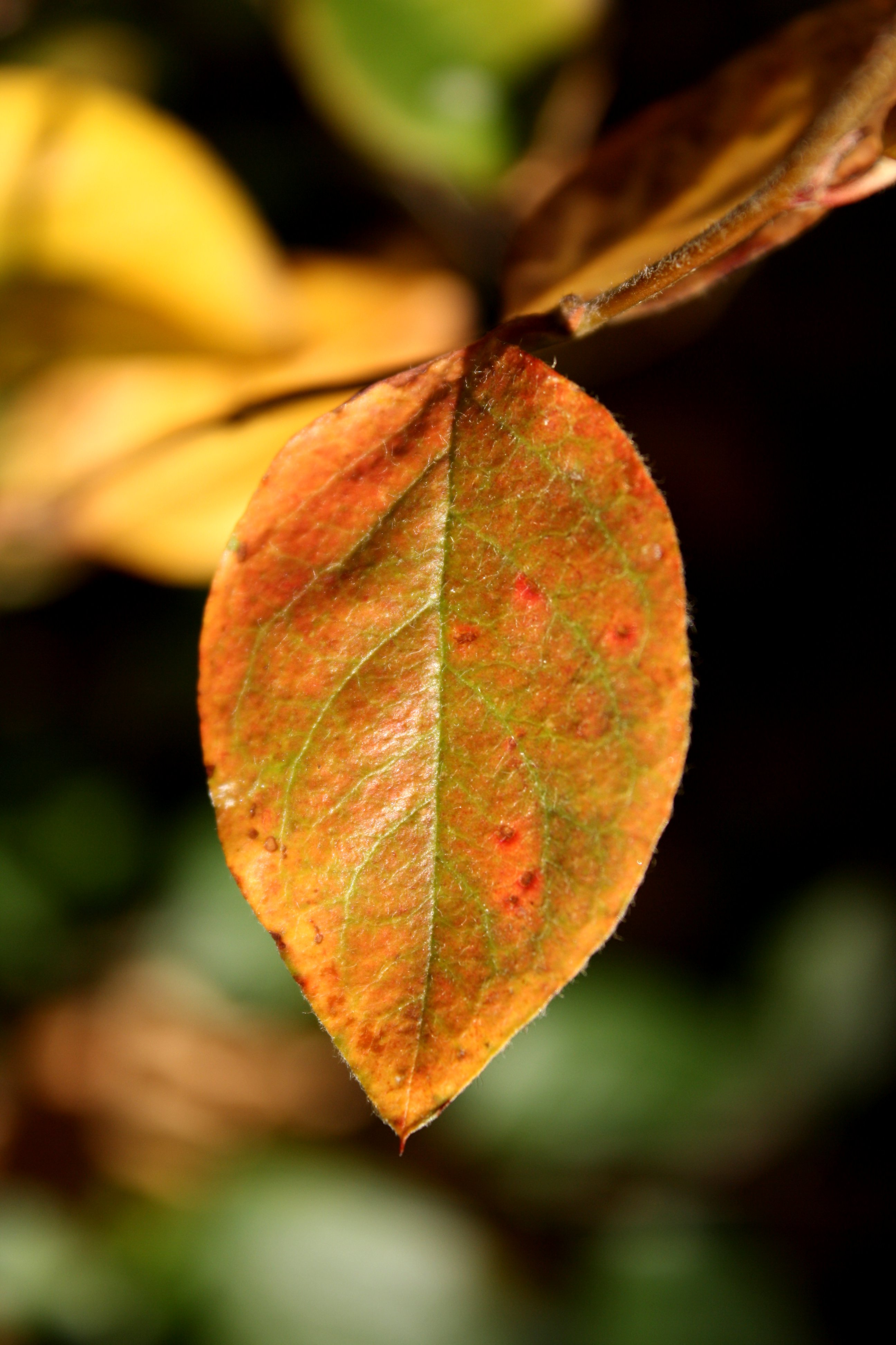 Red And Green Autumn Leaf Picture Free Photograph