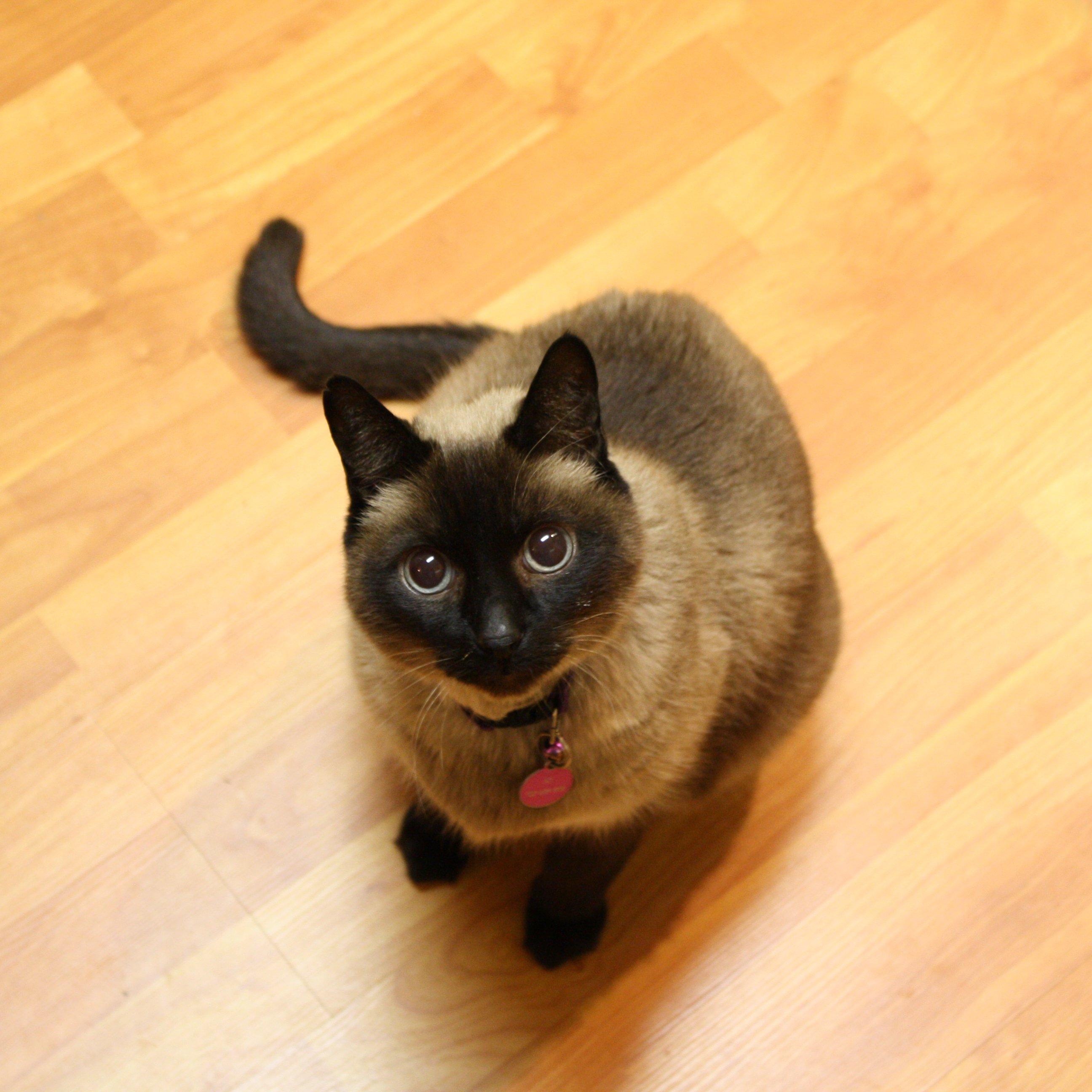 cat hyperthyroidism diet