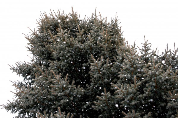 Snowflakes and Blue Spruce Tree - Free High Resolution Photo