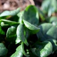 Spinach in Garden - Free High Resolution Photo