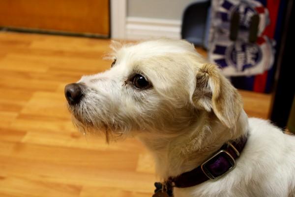 Terrier Dog - free high resolution photo
