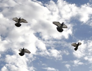 Four Pigeons in Flight - Free High Resolution Photo