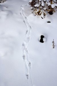 Animal Tracks in the Snow - Free High Resolution Photo