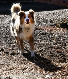 Australian Shepherd Mix Dog - Free Photo