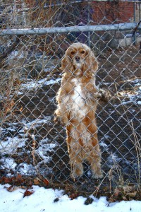 Cocker Spaniel Behind Fence - Free High Resolution Photo