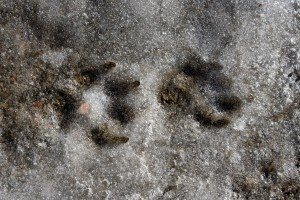 Dog Prints in Slush - Free High Resolution Photo
