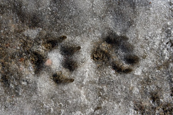 Dog Prints in Slush - Free High Resolution Photo