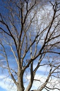 Locust Tree in Winter - Free High Resolution Photo