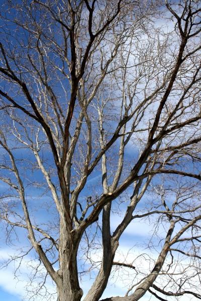 Locust Tree in Winter - Free High Resolution Photo