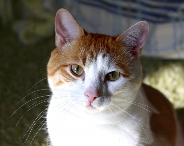 Orange and White Cat Closeup - Free High Resolution Photo