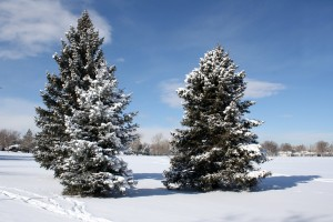 Pine Trees in the Snow - Free High Resolution Photo