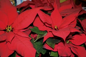 Poinsettias - Free High Resolution photo
