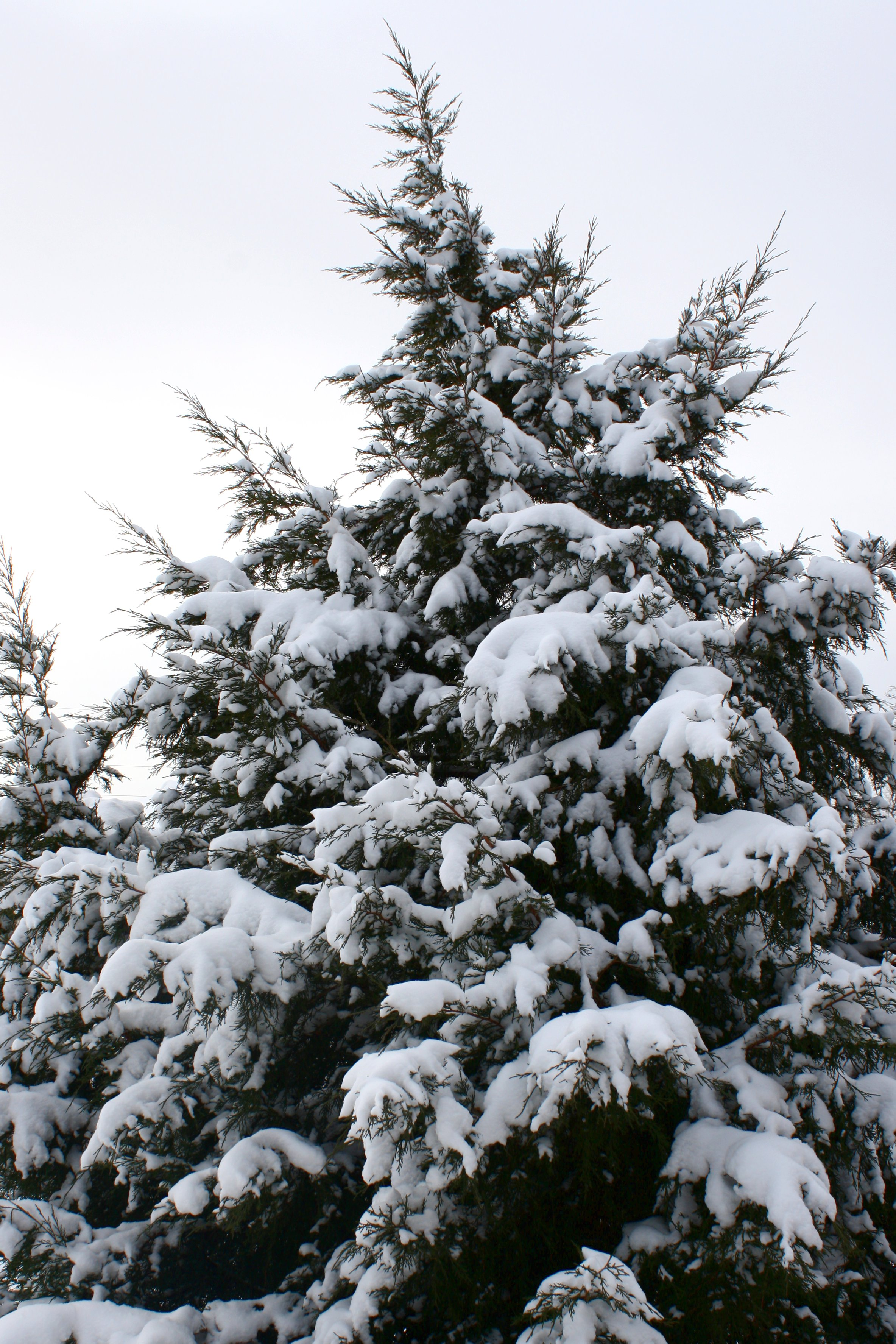 snow covered evergreen tree picture free photograph photos