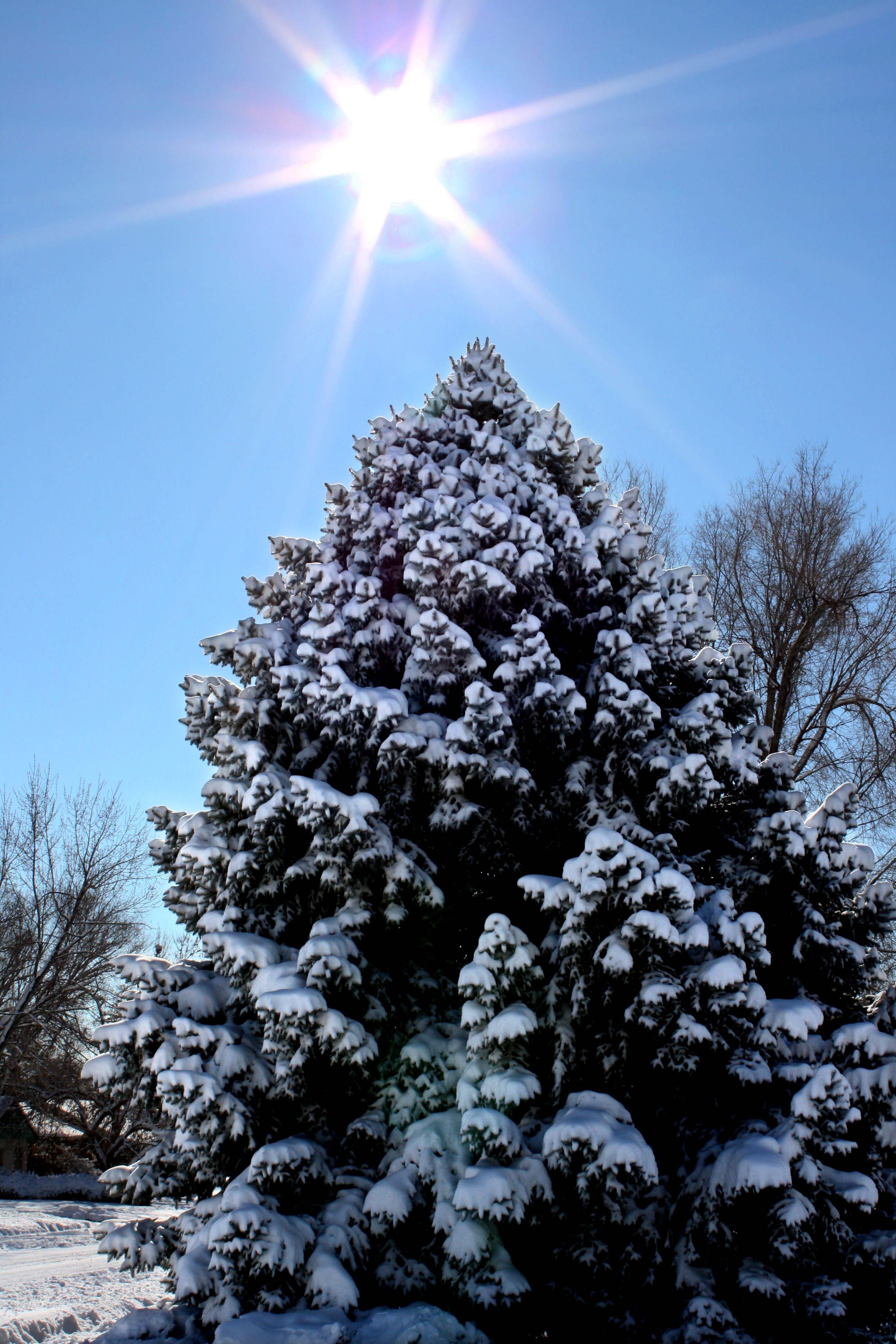 Snow covered pine tree with winter sun free high resolution photo