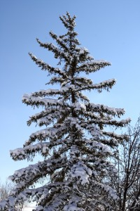 Snow on Branches of Pine Tree - Free High Resolution Photo