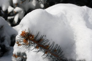Snow on Pine Needles Closeup - Free High Resolution Photo
