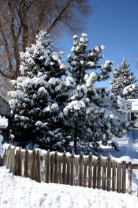 Snowy Pine Trees with Fence - Free High Resolution Photo