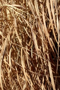 Tall Dead Reed Grass Texture - Free High Resolution Photo