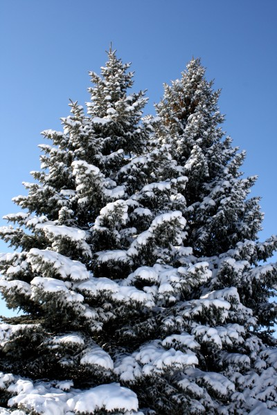 Two Snow Covered Pine Trees - Free High Resolution Photo