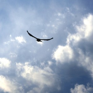Bird Flying in Blue Sky with Clouds - Free High Resolution Photo