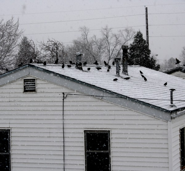 Flock of Birds on Roof in Snow Storm - Free High Resolution Photo