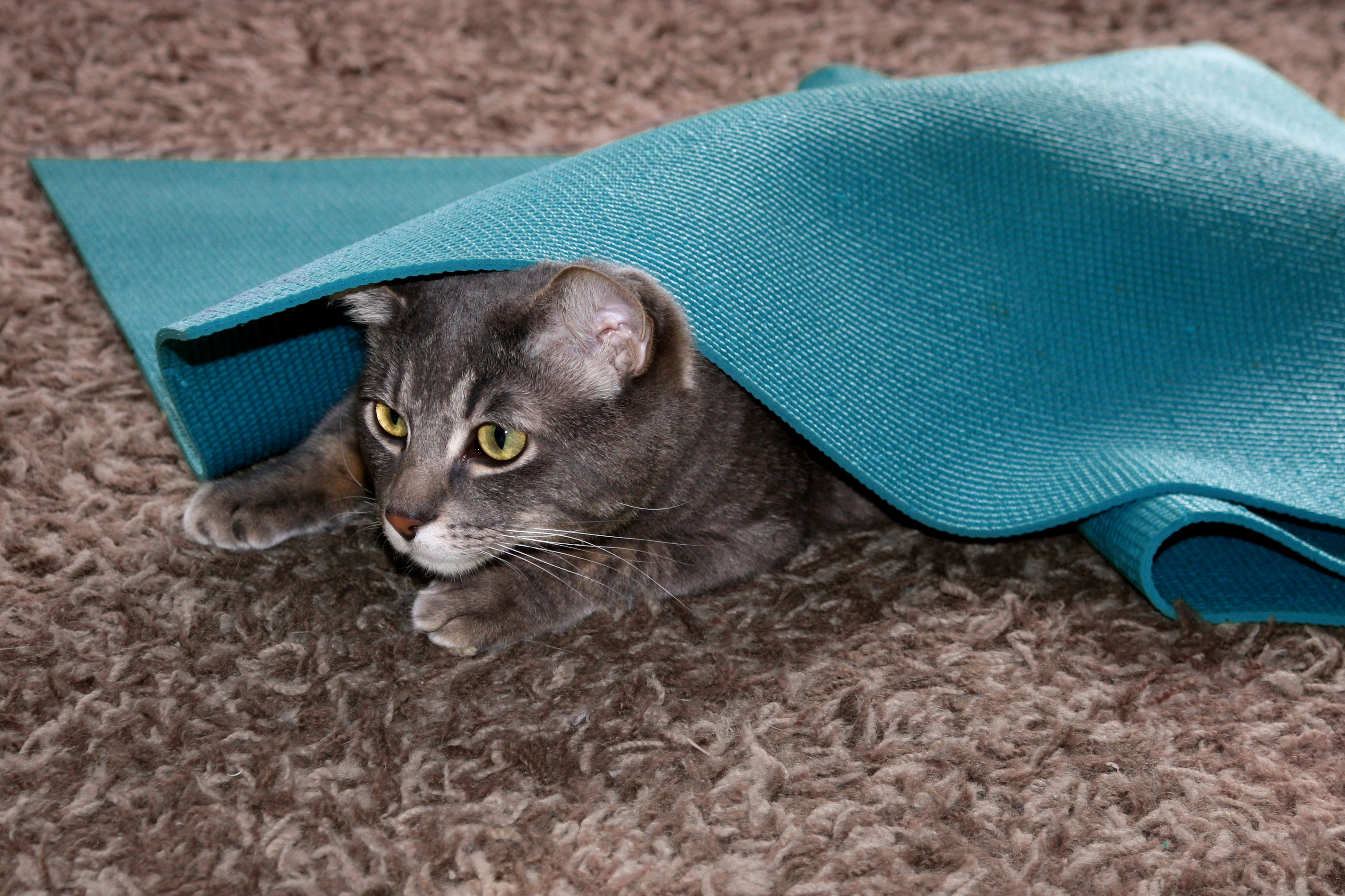 Gray Tabby Cat Playing Under Yoga Mat Picture Free