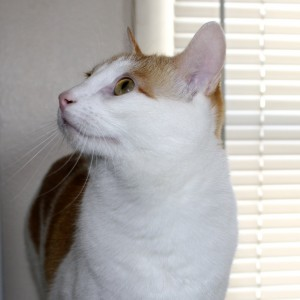 Orange and White Cat Looking to the Side - Free High Resolution Photo