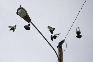 Pigeons Landing on Street Light - Free High Resolution Photo