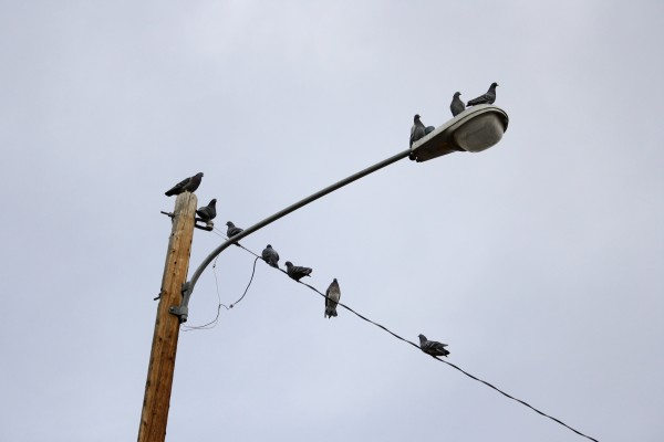 Pigeons Perched on Street Lamp - Free High Resolution Photo