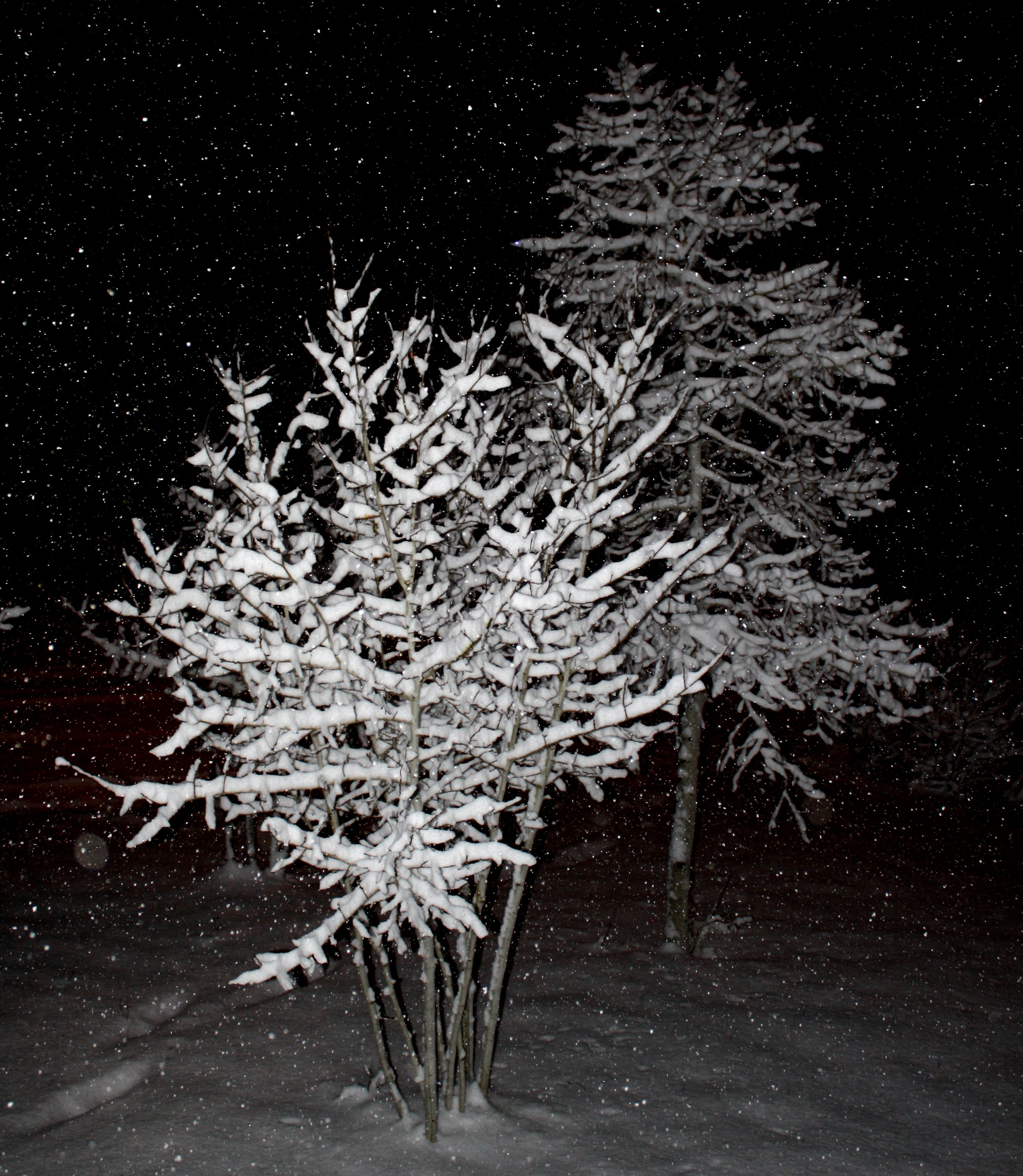 Trees With Snow Pictures Snow Falling on Trees at Night