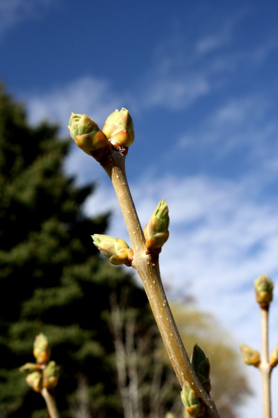 Budding Spring Leaves on Lilac Bush - Free High Resolution Photo