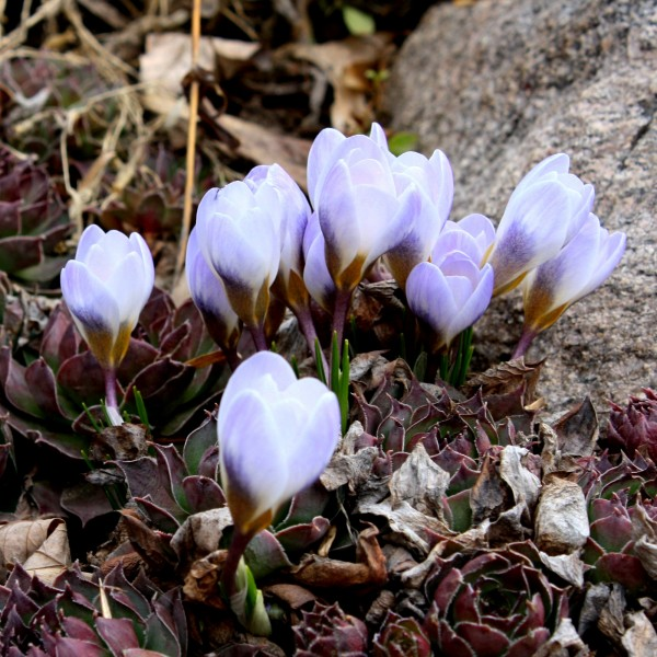 Cluster of Crocus Buds - Free High Resolution Photo