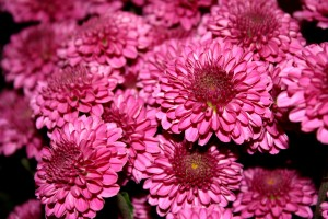 Magenta Hot Pink Chrysanthemums Close Up - Free High Resolution Photo