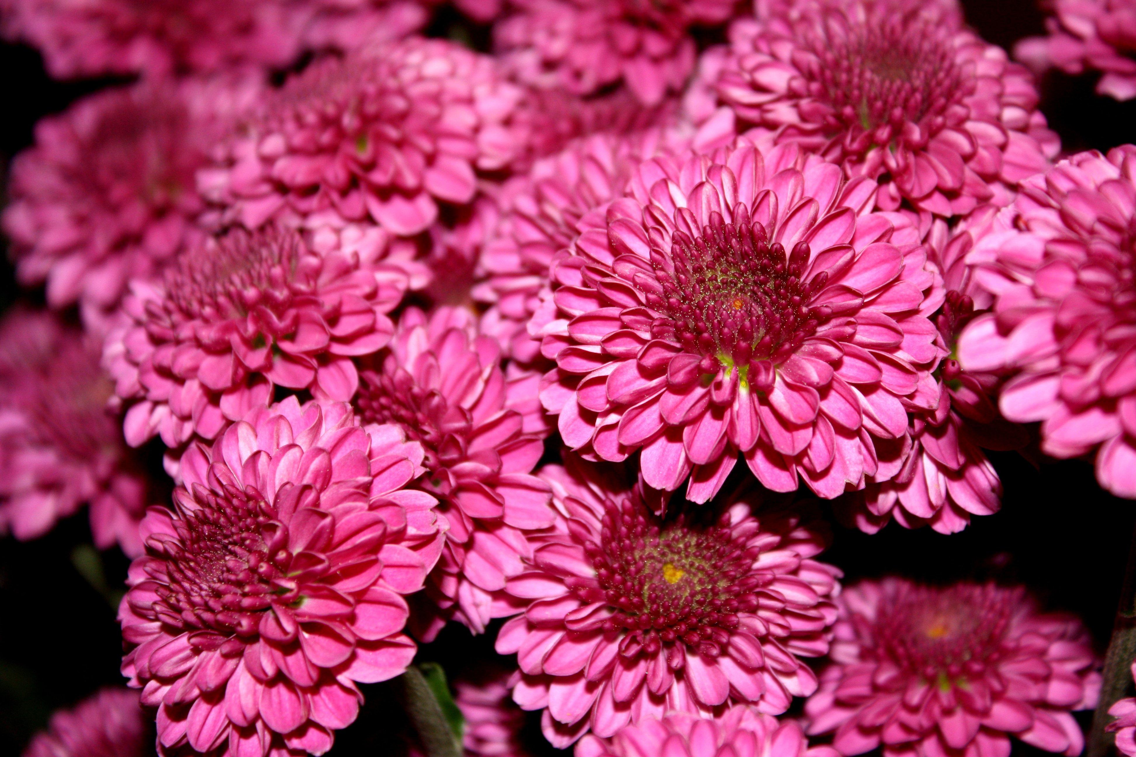 Magenta Hot Pink Chrysanthemums Close Up Picture Free