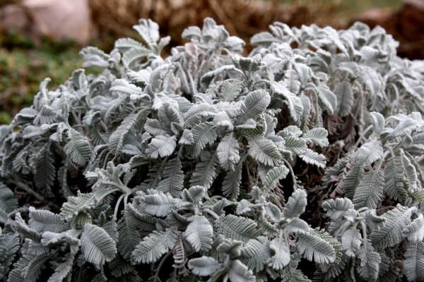 Partridge Feather Plant with Silver Leaves - Free High Resoltuion Photo