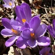 Purple Crocus Flowers - Free High Resolution Photo