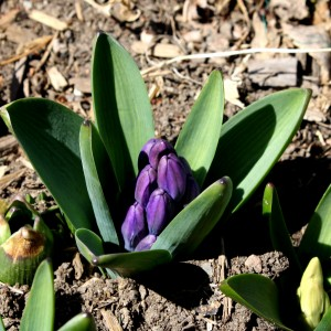 Purple Hyacinth Buds in Early Spring - Free High Resolution Photo