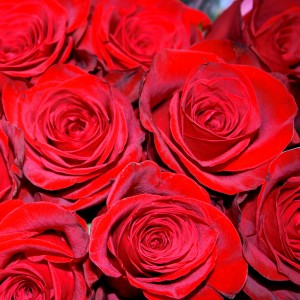 Red Roses Closeup - Free High Resolution Photo