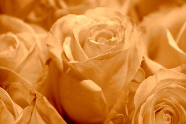 Sepia Tone White Roses - Free High Resolution Photo