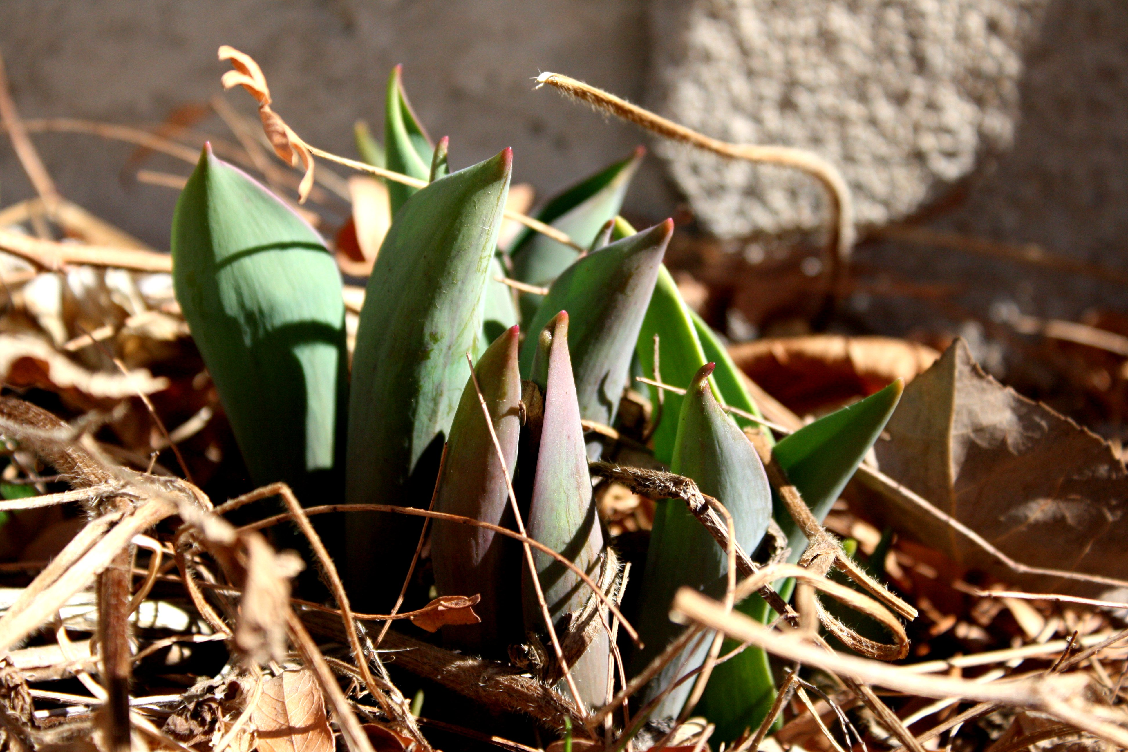 Tulips Sprouting From The Ground In Spring Picture Free