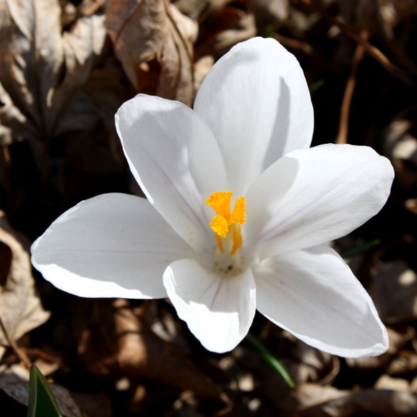 White Crocus Flower - Free High Resolution Photo
